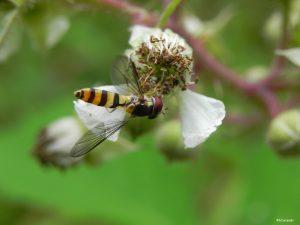 Syrphe meliscavea cinctella (G