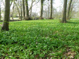 Allium ursinum et anemone nemorosa