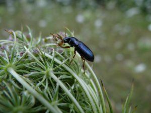 carabidae sur carotte Vauréal2