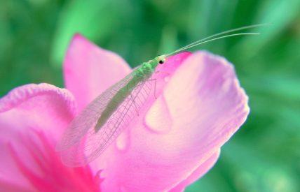 chrysope sur laurier rose