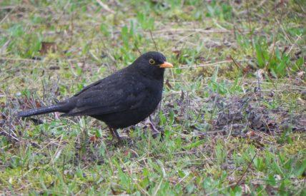 merle noir mouillé arboretum Cergy 07 03 2012