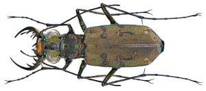 Appareil buccal de type broyeur d'un insecte prédateur de l'espèce Cilindera mutata (Source Flickr