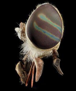 Appareil buccal de type « piqueur » de taon (Diptère) (Source Flickr