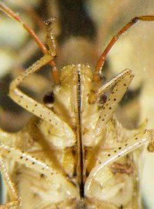 Appareil buccal de type « piqueur » d'une punaise (Source Flickr