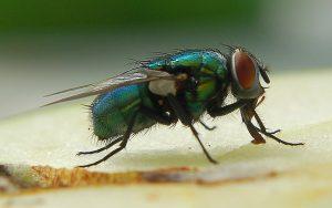Appareil buccal de type « suceur-lécheur » de la mouche (Source Flickr