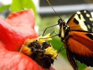 Appareil buccal de type « suceur-maxillaire » chez un papillon Heliconius – ©Photo B