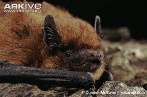 Pipistrelle-bat-close-up