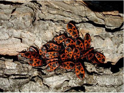 Amas de <em>Pyrrhocoris apterus</em> (Flickr).
