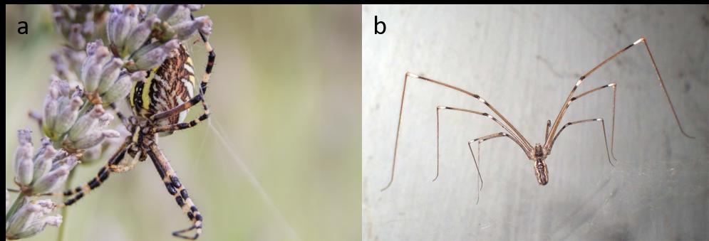 auxiliaires-araignées-agroéoclogie
