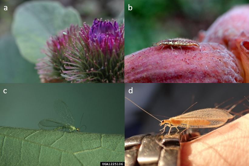 auxiliaire-Chrysope-adulte-larve-œuf-agroécologie