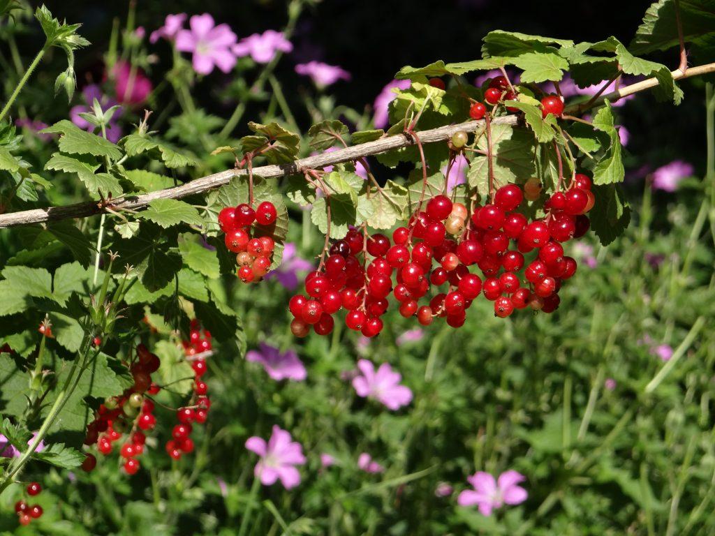 groseilles-petits fruits-haie-agroécologie
