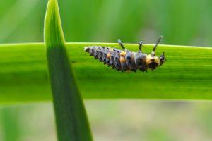 Auxiliaires de lutte contre les pucerons-biocontrôle-agroécologie