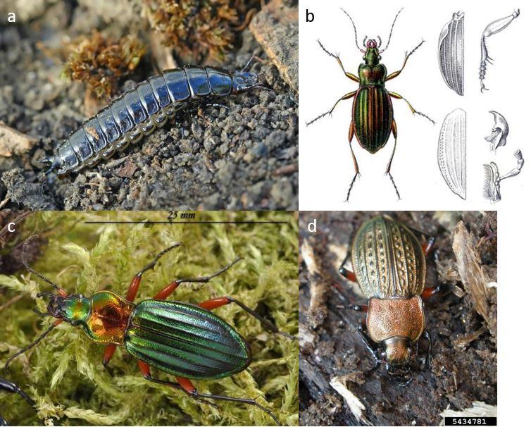 auxiliaires-agroécologie-Larve-Morphologie-Carabus auronitens-Carabus cancellatus