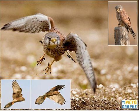 auxiliaire-faucon crécerelle-agroécologie-jardinage