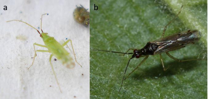 Deux punaises prédatrices des aleurodes des serres. a) Macrolophus spp. (Flickr), b) Dicyphus errans