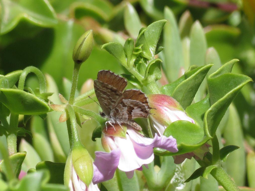 papillon-biocontrôle-agroécologie