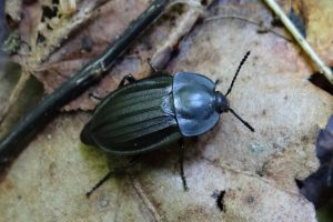 Auxiliaires prédateurs de limaces et escargots-biocontrôle-agrocologie