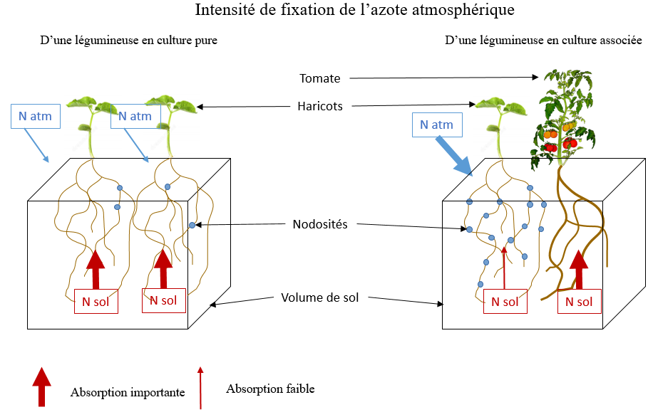 fixation-azote-symbiose-culture pure