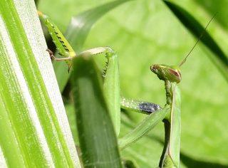 mante religieuse, auxiliaire du jardinier, agroécologie, insecte