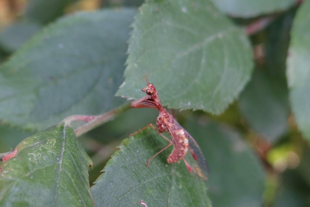 auxiliaire du jardinier, mantispa, agroécologie