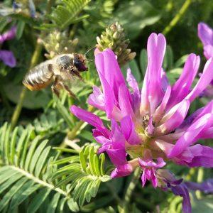 Fleur de Fabacée et abeille solitaire