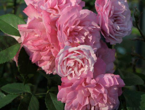 « Old blush » (Rosa chinensis)