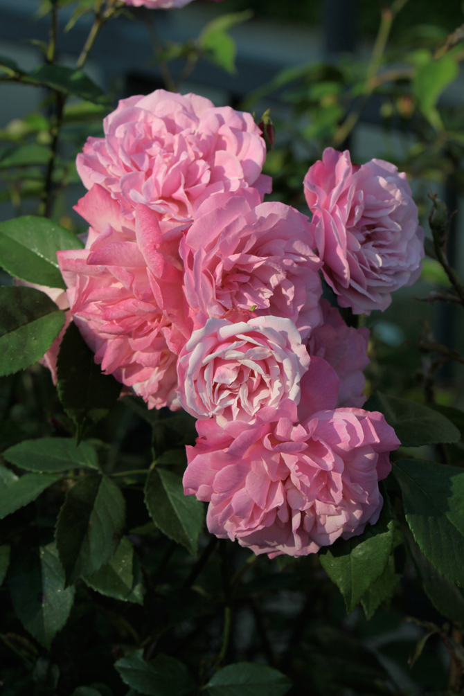 « Old blush » (Rosa chinensis)