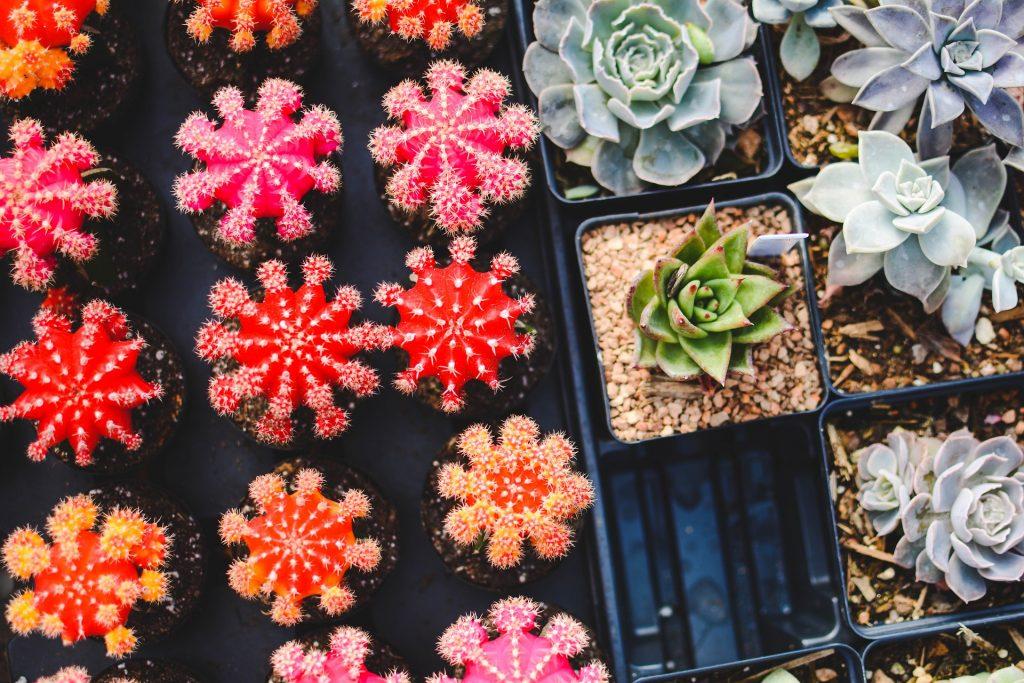 cacti-1845159_1920-1024x683