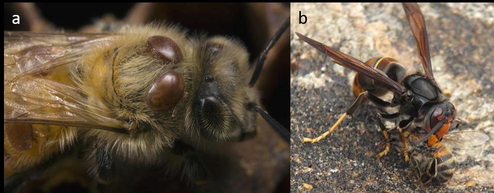 a) Varroa destructor (ici en rouge) sur une abeille (© M MOFFETT, MINDEN PICTURES BIOSPHOTO), b) Vespa velutina dévorant une abeille (© P.Falatico)