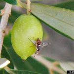 Adulte de mouche de l'olive Bactrocera oleae © Pest and Diseases Image Library