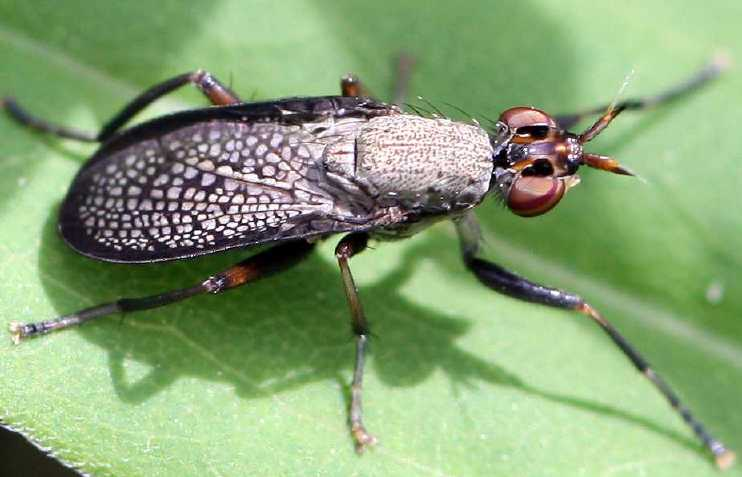 Même les Mouches peuvent être très belles comme ce Diptère Sciomyzide Coremacera marginata (photo J.P.Lavigne)