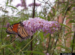 Arbre à papillon (Buddleja davidii) (c) L.J Mehrhoff