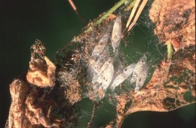 Cocons de nymphose d'Hyponomeute sur pommier © Zeller