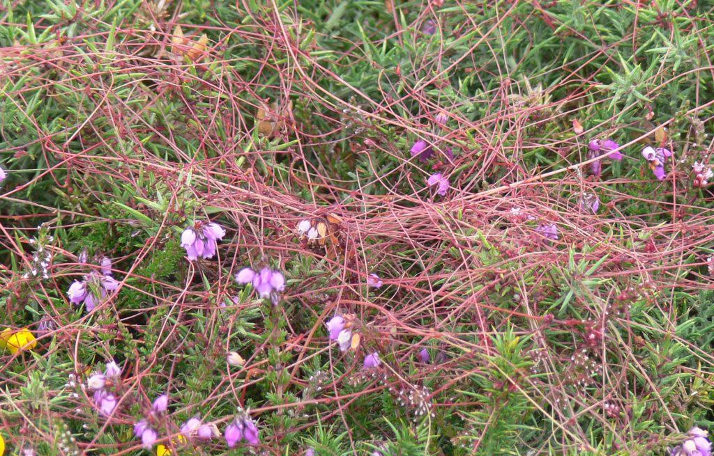 Cuscute à petites fleurs (Cuscuta epithymum) sur lande à bruyère et ajoncs (Ulex gallus) © Lamiot