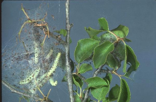 Nids de chenilles d'<em>d'Yponomeuta malinellus</em> © Zeller