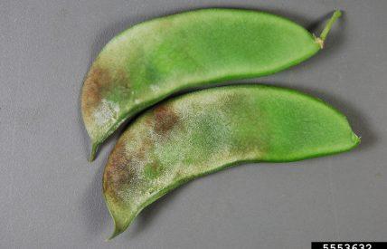 Phytophtora capsci (c) Nancy Gregory