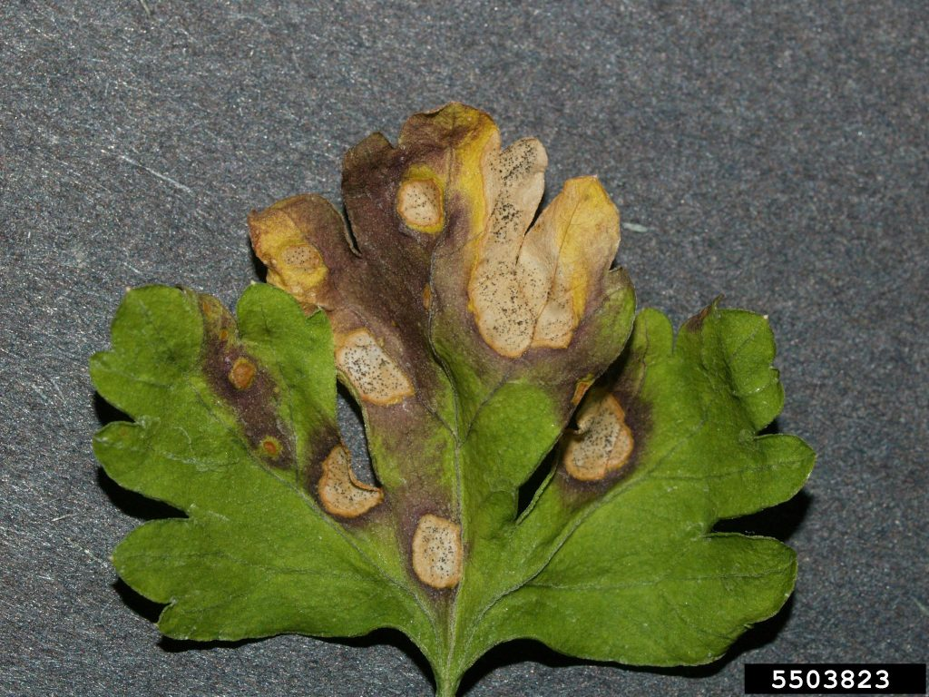 Symptômes de septoriose sur feuille de persil © Bruce Watt