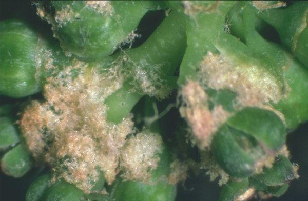 Symptomes de l'érinose sur inflorescence © INRA