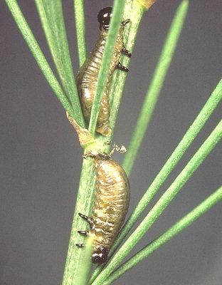 Larves de Crioceris asparagi sur tige d'asperge © R. Coutin