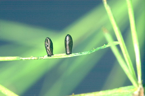 Œufs de Crioceris asparagi sur tige d'asperge © R. Coutin