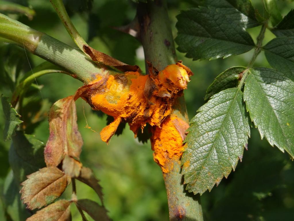 Phragmidium mucronatum sur tige de rosier © Cilles Carcassès
