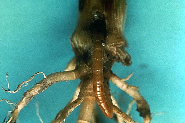 Attaque au collet sur un jeune pied de maïs © R. Coutin