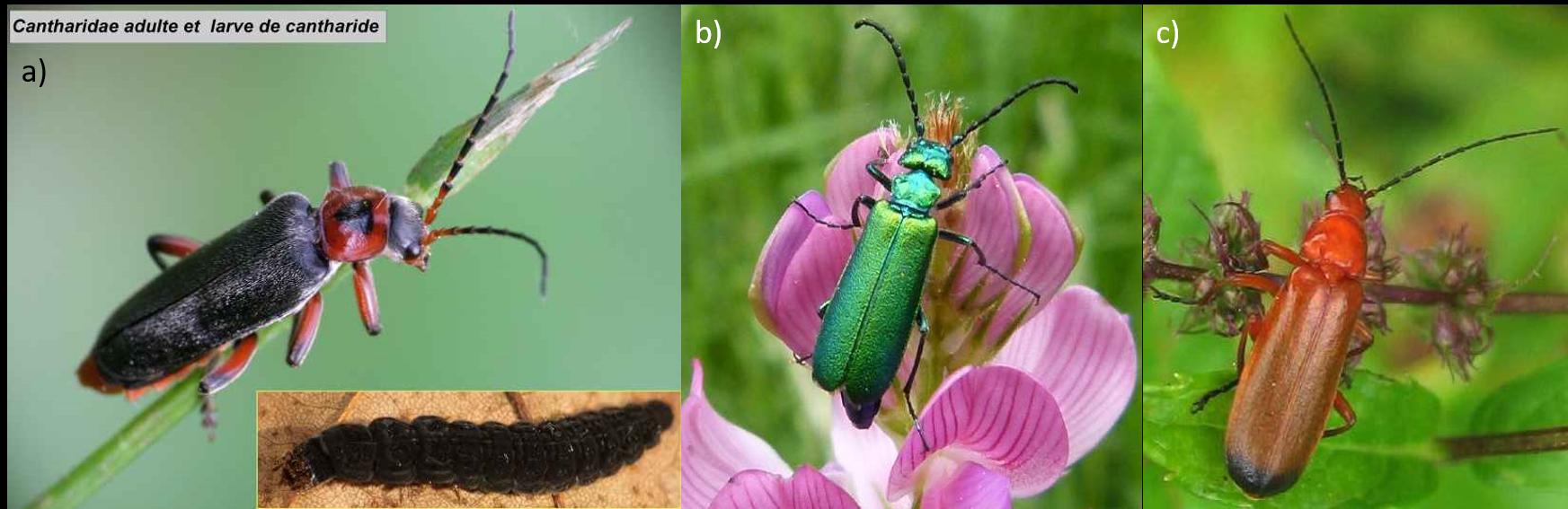 a) Cantharis rustica et sa larve (montage-photo P.Falatico) - autre larve de Cantharis sp. (© L.Loubier), b) Lytta vesicatoria de la famille des Méloïdes (© J.M.Desjacquot, Tarentaise, 700 m), c) Rhagonycha fulva aux extrémités noires des élytres (© P. Legros).