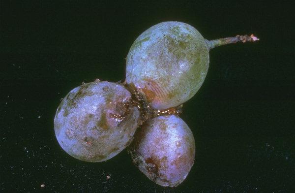 Dégâts de tordeuses sur baies de raisin © INRA