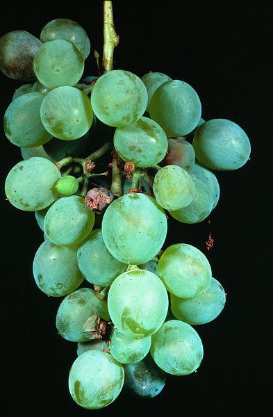 Dégâts de tordeuses sur baies de raisins © Voegelé J. INRA Antibes, Hyppz