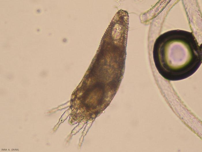 Femelle de phytopte du fushia avec un corps de forme allongée, avec deux paires de pattes (c) INRA