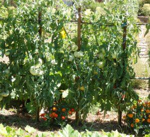 Œillets d'Inde au pied des tomates © J.M. Muller