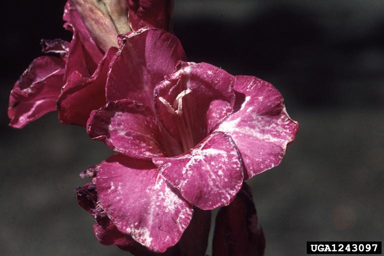 Dégâts sur fleurs de glaïeul © Whitney Cranshaw