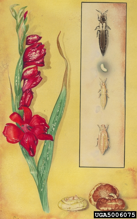 Illustration Thrips simplex et glaïeul. © Art Cushman
