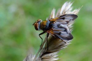 Ectophasia crassipennis – parc du château de Grouchy à Osny © CACP – Gilles Carcassès